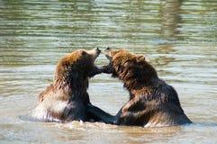 björnar som leker två Royaltyfria Bilder