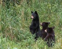 björnar tre Royaltyfri Bild