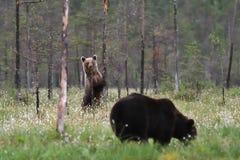 björnar två arkivfoto