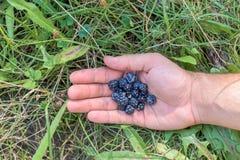 Björnbär för en handfull i en hand för man` s ligga för gräs royaltyfria foton