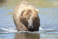 björnbeskickning Arkivbilder