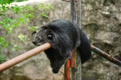 björnbinturong fotografering för bildbyråer