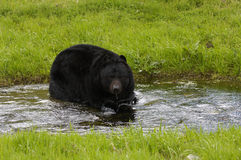 björnblack Royaltyfria Bilder