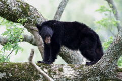 björnblack Fotografering för Bildbyråer