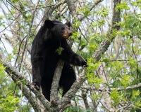 björnblack Royaltyfria Foton