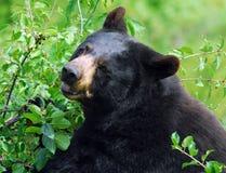 björnblack Royaltyfri Fotografi