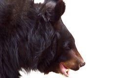björnblack Arkivfoto