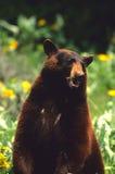 björnblackstanding Royaltyfri Fotografi