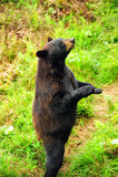 björnblackstanding Royaltyfri Foto