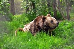 Björnbroder fotografering för bildbyråer
