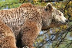 björnbrown Royaltyfri Bild