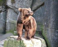 björnbrown Royaltyfri Foto