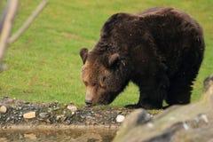 björnbrown Arkivbilder