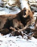 björnbrown Royaltyfria Bilder
