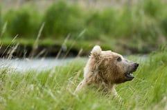 björnbrown som äter gräs Arkivbild