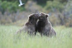 björnbrown som leker två Arkivfoto