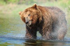 björnbrownshake Arkivfoton