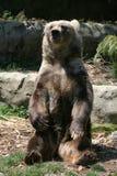 björnbrownsitting arkivbild