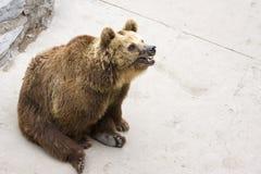 björnbrownsitting Arkivbilder