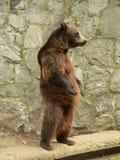 björnbrownstanding Arkivfoton