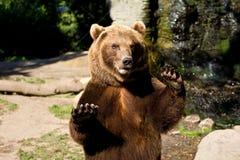 björnbrownstanding Royaltyfria Bilder