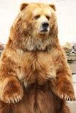 björnbrownstanding Royaltyfria Foton