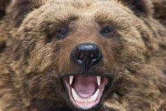 björncloseup Arkivfoton