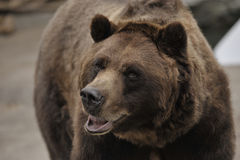 björncloseupgrizzly royaltyfri foto