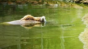 Björnen är i sjövatten lager videofilmer
