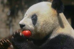 Björnen för den jätte- pandan Basi äter det röda äpplet Royaltyfri Fotografi