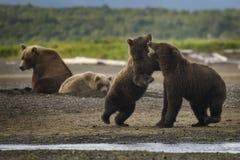 Björnen Hang Out Royaltyfri Bild