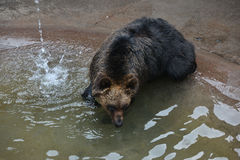 Björnen kopplar av Royaltyfri Fotografi