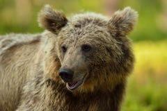 Björnen like att le Arkivfoton
