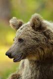 Björnen like att le Arkivbild
