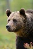 Björnen like att le Royaltyfri Fotografi