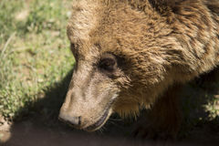 Björnen like att le Royaltyfri Foto