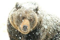 björnen räknade snow royaltyfria foton