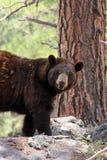 Björnen ser fotografen Royaltyfri Foto