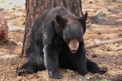 Björnen ser fotografen Royaltyfri Bild