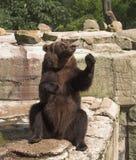 björnen välkomnar dig Arkivbild