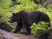björneurasian Royaltyfri Fotografi
