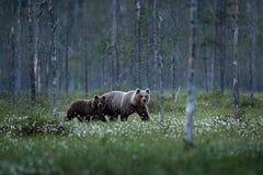 Björnfamilj i sommarbomullsgräs Björngröngöling med modern Härliga djur som döljas i de farliga djuren för skog i naturför royaltyfri fotografi