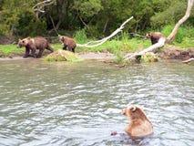 Björnfamilj och björngröngölingar Arkivbild