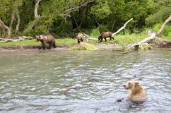 Björnfamilj och björngröngölingar Royaltyfri Foto