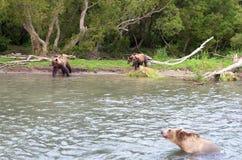 Björnfamilj och björngröngölingar Royaltyfria Foton
