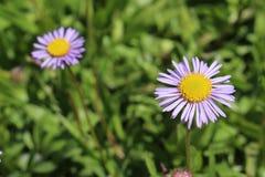 BjörnflodFleabane blomma - Erigeron Ursinus Arkivbilder