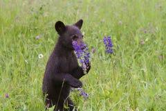 Björngröngöling som luktar purpurfärgad Lupine royaltyfria bilder