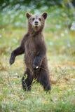 Björngröngölingen stod upp på dess bakre ben royaltyfri foto