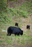 björngröngölingmoscow polar wild zoo Arkivbild