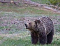 björngrizzly Arkivfoto